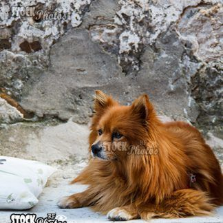 animals dog spitz