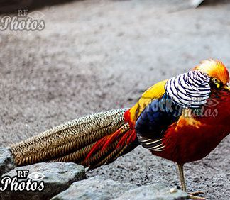 dozing gold pheasant