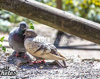 pigeons love & geborgenheit