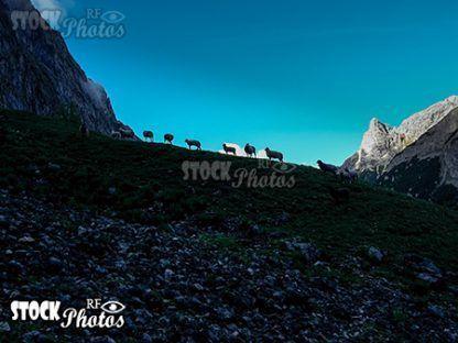 mountains sheep & Schafe auf der Zugspitze
