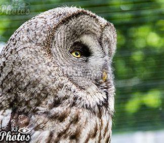 arrogant owl