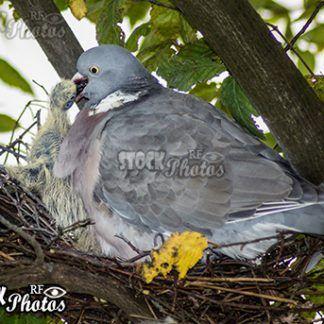pigeon feeding baby