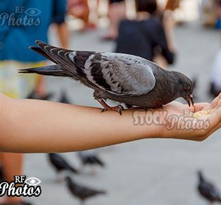 pigeon on the hand &Taube auf Hand