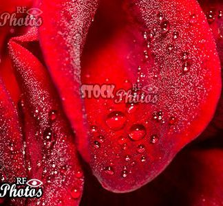 romantic red rose with water drops