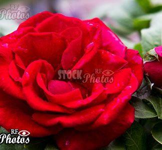 red rose bud & Rose mit Knospe